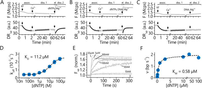 Analysis of <t>P/DNA/dNTP</t> interactions and enzymatic activity of Pol I(KF). A – C Association, dissociation, and elongation under different conditions: association in Mg 2+ -buffer, followed by dissociation in Ca 2+ -buffer (diss. 1), elongation in a 100 μ M dNTP-mix, and dissociation of the polymerase in Mg 2+ -buffer (diss. 2). In A and B, the dissociation phase 2 proceeds after the elongation from the end of the extended oligonucleotide primer in the absence and presence of competing DNA, respectively. C is a control where the polymerase dissociates in the absence of <t>dNTPs</t> but presence of competing DNA in solution. Lines are single exponential fits. D Dissociation rates from dissociation phase 2 as a function of dNTP concentration. The line is a Langmuir fit and yields the dissociation constant for the binding of dNTPs by a polymerase located at the end of dsDNA (without the influence of base-pairing). E : Elongation monitored in real-time by the fluorescence emitted from standing DNA ( F up ) for different dNTP concentrations. F : Elongation rates from E (linear slope) plotted as a function of the dNTP concentration. The line is a Michaelis-Menten fit with K M being the Michaelis constant.