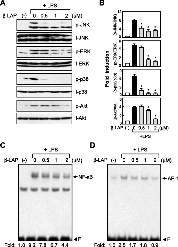 <t>β-LAP</t> inhibited the phosphorylation of MAPKs and AKT and DNA binding of NF-κB and AP-1 in LPS-stimulated BV2 cells. a Western blots for MAPKs and AKT activities. Cell extracts were prepared from BV2 cells pretreated with β-LAP (0.5, 1, and 2 μM, for 1 h), followed by LPS (100 ng/ml, for 1 h), and then subjected to immunoblot analysis using antibodies against the phospho- or total forms of JNK, ERK, p38 MAPK, and Akt. The autoradiograms are representative of three independent experiments. b Quantification of Western blot data. Levels of the phosphorylated forms of MAPKs and AKT were normalized with respect to the level of each total form and expressed as relative fold changes vs. the control group. Data are the means ± SEM for three independent experiments. * P