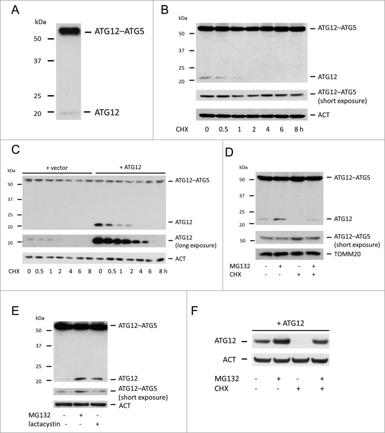 Free ATG12 is rapidly degraded in a proteasome-dependent manner ( A ) Western blot detection of ATG12 in U2OS cells. ( B ) Endogenous ATG12 expression in U2OS cells following CHX treatment. ( C ) U2OS expressing empty vector or ATG12 were treated with CHX for various times and probed for ATG12 expression. ( D ) U2OS cells were treated were treated for 8 h as indicated with MG132 and/or CHX and probed for ATG12 expression. ( E ) U2OS were treated for 8 h with MG132 or lactacystin and examined for ATG12 expression. ( F ) U2OS expressing ATG12 were treated for 8 h with MG132 and/or CHX as indicated and cell lysates were probed for ATG12 expression. ACT or TOMM20 were used as a loading control.