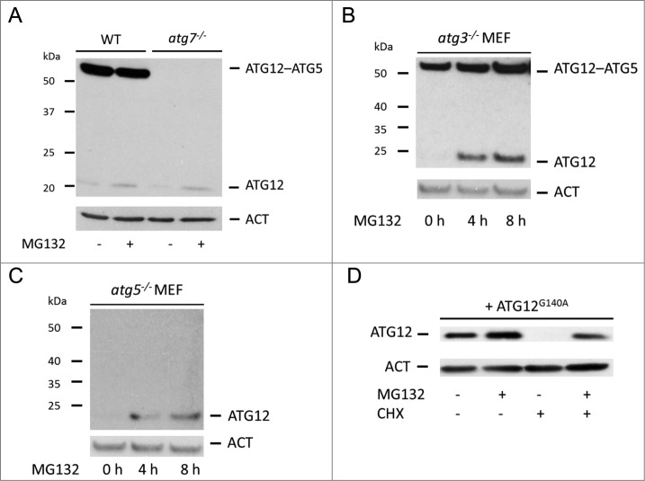 Proteasomal degradation of free ATG12 protein occurs independent of autophagy ( A ) E1A and Ras -transformed WT or Atg7 knockout MEF were treated for 8 h with MG132 and cell lysates were probed for ATG12 expression. ( B ) Atg3 or ( C ) Atg5 knockout MEFs were treated with MG132 for 4 h and 8 h and analyzed for ATG12 expression. ( D ) U2OS cells expressing ATG12 G140A were treated for 8 h with MG132 and/or CHX as indicated and lysates were examined for ATG12 expression. In all immunoblots, ACT was used as a loading control.