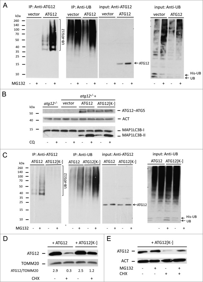 Direct ubiquitination of free ATG12 regulates its proteasomal degradation ( A ) 293T cells expressing vector or ATG12 and His-ubiquitin were treated with MG132 as indicated. Cell lysates were subject to His-tag affinity isolation and immunoblotted for ATG12 and ubiquitin expression ( B ) Atg12 knockout MEFs, as well as MEFs stably expressing Atg12 , were treated for 4 h with chloroquine, then examined for ATG12 and LC3B expression. ( C ) 293T cells expressing ATG12 or ATG12[K-] together with His-ubiquitin, were treated as indicated, subject to His-tag affinity isolation and probed for ATG12 and ubiquitin expression. ( D ) U2OS cells expressing ATG12 or ATG12[K-] and treated for 6 h with CHX and analyzed for ATG12 and TOMM20 expression, densitometric analysis was performed using ImageJ software, normalizing to TOMM20 levels. ( E ) U2OS cells expressing ATG12[K-] were treated with MG132 and/or CHX for 8 h as indicated and examined for ATG12 expression. ACT or TOMM20 were used as loading controls.