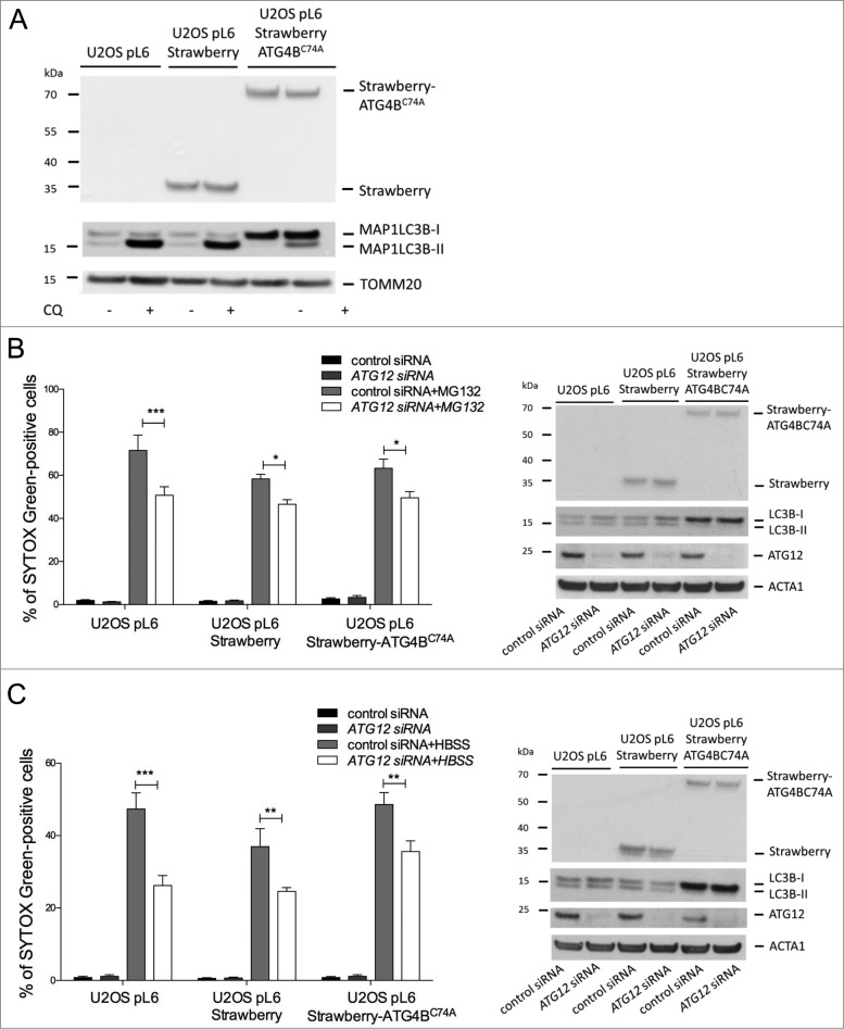 Free ATG12 promotes cell death independent of autophagy ( A ) U2OS cells stably expressing vector, Strawberry or Strawberry-ATG4B C74A were treated for 4 h with chloroquine and cell lysates were blotted for RFP and LC3B. U2OS cells stably expressing vector, Strawberry or Strawberry-ATG4B C74A were transfected with control or ATG12 siRNA. ( B ) Following MG132 treatment (24 h) or ( C ) HBSS starvation (48 h), cell viability was determined by SYTOX Green exclusion in an Incuyte Imager. Graphs show the mean +/− SEM of 3 ( B ) or 5 ( C ) experiments at representative time-points (24h MG132, 48 h HBSS). Western blots show cell lysates of U2OS cells stably expressing vector, Strawberry or Strawberry-ATG4BC74A, transfected with control or ATG12 siRNA, treated for 8 h with MG132 ( B ) or HBSS ( C ) and probed for RFP, LC3B, and ATG12. In all immunoblots, ACT or TOMM20 were used as a loading control.