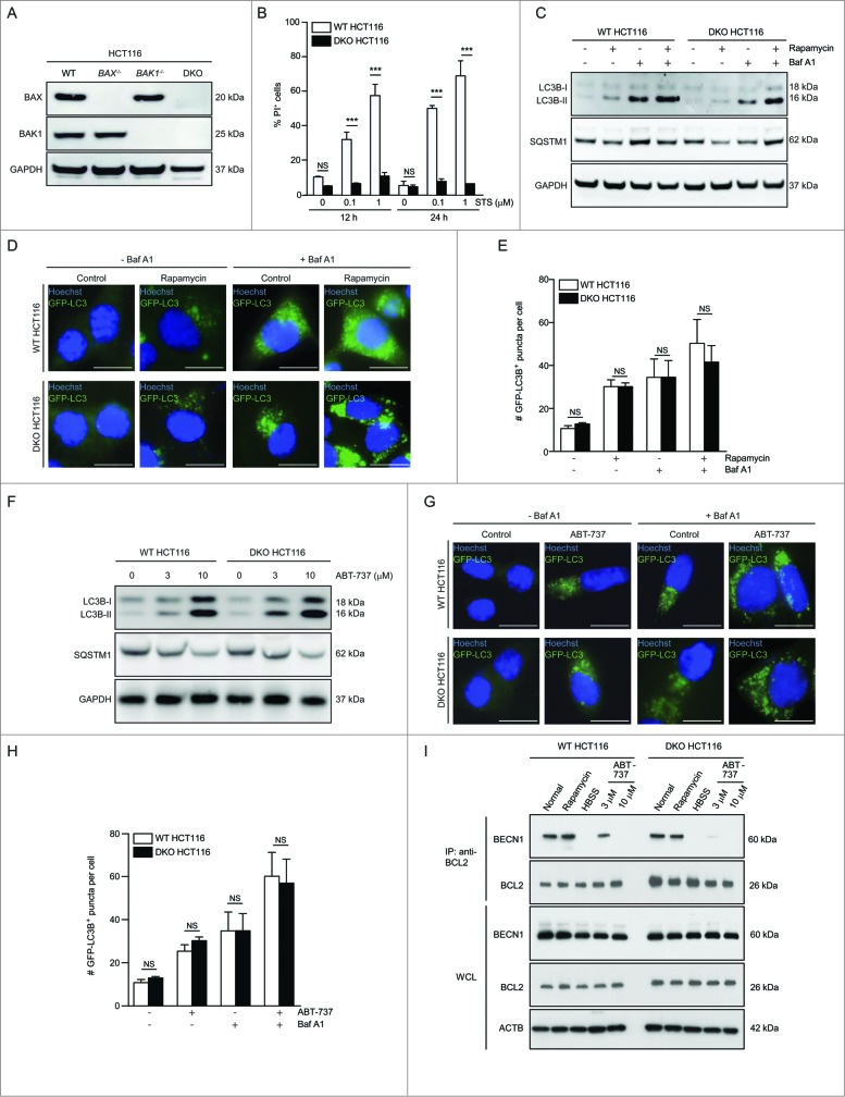 ABT-737 induces autophagy and dissociation of the BECN1-BCL2 complex in HCT116 cells lacking BAX and BAK1. ( A ) Western blot detection of BAX and BAK1 in parental HCT116 cells (WT) and in HCT116 cells lacking either BAX ( BAX −/− ), BAK1 ( BAK1 −/− ), or both BAX and BAK1 (DKO). ( B ) Cell death (as measured by flow cytometric staining of propidium iodide (PI) uptake) of WT or BAX BAK1 DKO HCT116 cells following treatment with the indicated dose of staurosporine (STS) treatment for the indicated duration. Results represent mean ± s.d. of triplicate samples. ( C ) Western blot detection of LC3B conversion and SQSTM1 degradation in the indicated cell types treated with rapamycin (1 μM, 4 h) in the presence or absence of 50 nM Baf A1. GAPDH was used as a loading control. ( D ) Representative photomicrographs of WT HCT116 cells or BAX BAK1 DKO HCT116 cells stably expressing GFP-LC3B and control-treated or treated with rapamycin (1 μM, 4 h). Hoechst (blue) represents nuclear staining. GFP-LC3B puncta (green) correspond to autophagosomes. Scale bars: 10 μm. ( E ) Quantification of the number of GFP-LC3B puncta per cell in cells treated as in ( D ) in the absence or presence of 50 nM Baf A1. Results represent mean ± s.d. of triplicate samples (500 cells analyzed per sample). ( F ) Western blot detection of LC3B conversion and SQSTM1 degradation in the indicated cell type treated with the indicated dose of ABT-737 for 12 h. GAPDH was used as a loading control. ( G ) Representative photomicrographs of WT HCT116 cells and HCT116 BAX BAK1 DKO cells stably expressing GFP-LC3B and control-treated or treated with ABT-737 (10 μM, 12 h). Hoechst (blue) represents nuclear staining. GFP-LC3B puncta (green) correspond to autophagosomes. Scale bars: 10 μm. ( H ) Quantification of the number of GFP-LC3B puncta per cell in cells treated as in ( G ) in the absence or presence of 50 nM Baf A1. Results represent mean ± s.d. of triplicate samples (500 cells analyzed per sample). ( I ) Immunoprecipitation of endogenous BECN1 with endogenous BCL2 in WT or in BAX BAK1 DKO HCT116 cells following the indicated treatment. Cells were subjected to rapamycin treatment (1 μM, 4 h), starvation (HBSS, 4 h), or the indicated dose of ABT-737 for 12 h. ACTB is shown as a loading control. For ( B ), ( E ) and ( H ), NS = not significant, and *** = P