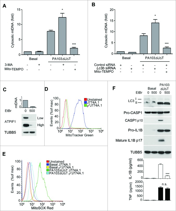 (See previous page.) Mitochondrial DNA release following infection and requirement for mitochondria for inflammasome activation by P. aeruginosa . ( A ) and ( B ) , qPCR analysis of cytosolic mitochondrial DNA (mtDNA) relative to nuclear DNA in macrophages pretreated ( A ) with Mito-TEMPO (500 μM) or 3-MA (10 mM) or control or Lc3b siRNA ( B ) and infected with PA103ΔUΔT (MOI 25) for 4 h or uninfected (Basal) as shown. Columns show means of 3 independent determinations; error bars are SEM. ( C ) Mitochondrial content of J774A.1 cells exposed to ethidium bromide (EtBr) at the indicated concentration (ng/ml) measured by qPCR (normalized to untreated cells; upper panel) and immunoblot for the mitochondrial protein ATPIF1 (lower panel) at low and high exposure time; TUBB5 is shown as a loading control. ( D ) Mitochondrial content of control or ethidium bromide-treated J774A.1 cells (ρJ774A.1) assayed by flow cytometry of MitoTracker Green stained cells. ( E ) Flow cytometry of J774A.1 and ρ°J774A.1 cells left uninfected (Basal) or infected with PA103ΔUΔT (MOI 25) for 4 h and stained with MitoSOX Red. ( F ) J774A.1 cells grown in the absence or presence of 500 ng/ml ethidium bromide (EtBr) were left untreated (basal) or infected with PA103ΔUΔT (MOI 25) for 4 h and analyzed as described in Figure 1A . *** indicates significant differences between the levels in the presence and absence of the EtBr (500 ng/ml), P