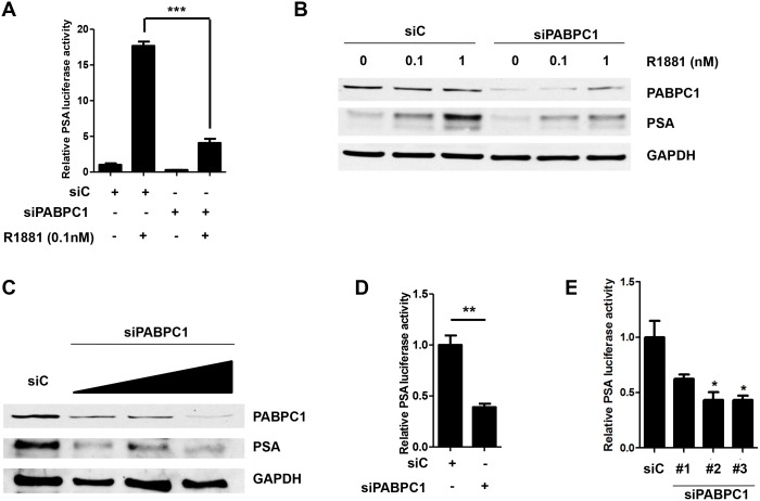Knockdown of PABPC1 with siRNA decreases PSA luciferase activity and PSA protein levels. (A) C4-2 cells were transfected with control siRNA (siC) (40 pmol/mL), siPABPC1 (pool of 3 oligos) (40 pmol/mL), pRL-CMV (0.03μg), and PSA6.1Luc (0.3μg) in OPTI-MEM. The media was changed the next day to 5% chS FBS RPMI for 24 hours followed by treatment with 0.1nM R1881for an additional 24 hours in 5% chS FBS RPMI. Luciferase assay was performed with pRL-CMV (Renilla) luciferase used as a normalizer. (B) C4-2 cells were transfected with control siRNA (siC) or siPABPC1 (40 pmol/mL) and treated as in (A) using increasing doses of R1881 (0, 0.1, and 1nM) followed by Western blot analysis. Blots were probed with antibodies specific for PABPC1 and PSA. GAPDH was used as a loading control. (C) C4-2 cells were transfected with control siRNA (siC) or siPABPC1 (pool of 3 oligos) (20 pmol/mL, 40 pmol/mL and 80 pmol/mL), in OPTI-MEM. Media was changed the next day to 10% FBS RPMI for 72 hours followed by Western blot analysis. Blots were probed as in (B). C4-2 cells were transfected with control siRNA (siC) or siPABPC1 (pool of 3 oligos) (40 pmol/mL), (D) or individual PABPC1 siRNA oligos (E) , pRL-CMV (0.03μg), and PSA6.1Luc (0.3μg) in OPTI-MEM. The media was changed the next day to 10% FBS RPMI for an additional 48 hours followed by luciferase assay. Experiments were repeated three times. Significance was determined by Student's t-test (*p