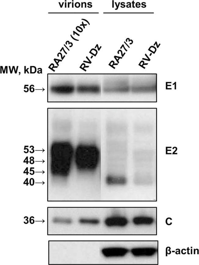 Western blot analysis of purified vaccine and wtRV virions and viral proteins in the infected HUVEC. Vero and HUVEC were infected with <t>RA27/3</t> and RV-Dz at MOI = 5. Virions were pelleted from the culture media by ultracentrifugation and resuspended in an SDS-sample buffer. The cell monolayers were washed with PBS and proteins were then extracted with RIPA buffer. Proteins were separated by a 4–12% <t>NuPage</t> gel, either nonreducing (E1, C, β-actin) or reducing (E2), and then the blots were probed with rubella E1, E2 and C-specific MAb to identify RV structural proteins. The blots were also probed with β-actin MAb to demonstrate equal protein loading for the analysis of the cell lysates and show purity of the pelleted virions. Representative results of two independent experiments are shown.