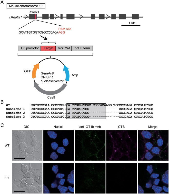 Generation of GalNAc-T-knockout P19 cells. (A) Target sequence derived from the genomic sequence of B4galnt1 exon 1 was inserted into the GeneArt CRISPR nuclease vector. P19 cells were transfected with the vector using the <t>Lipofectamine</t> 3000 reagent. (B) Sequencing of the neighboring target region in exon 1 of the B4galnt1 gene of CRIPR/Cas9 vector-transfected P19 cells. Parts of the B4galnt1 gene from 3 different subcloned cells were amplified by PCR and subcloned into a TOPO cloning vector. Eight TOPO vectors derived from 3 subcloned cells (subclones 1 to 3) were sequenced. All target sites in the vectors contained the 14-nucleotide deletion, and neither other deletions nor original sequence were detected. Gray squares indicate the target sequences. (C) P19 neurons were fixed and stained with an Alexa Fluor 647-labeled CTB (magenta) or anti-GT1b mAb and Alexa Fluor 488-labeled anti-mouse IgG antibody (green). DAPI was used to stain the nuclei (blue). Differential interference contrast (DIC) and fluorescence images were collected using confocal microscopy. Neither CTB, which binds GM1, nor GT1b (using an anti-GT1b mAb) were detected on GalNAc-T-knockout P19 cells. WT and KO indicate wild-type and GalNAc-T-knockout cells, respectively. Scale bars indicate 10 μm.