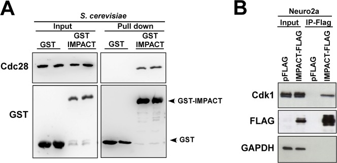 Mammalian IMPACT forms a complex with Cdc28 and CDK1. (A) Mammalian IMPACT expressed in yeast precipitates Cdc28. Two different transformants of yih1Δ strain (BY4741) expressing either GST-IMPACT or GST alone from a galactose inducible promoter were grown to log phase in SGal. WCEs were prepared and equivalent amounts of protein (1 mg) were subjected to GST-pull-down assays. The precipitated complexes were analyzed by immunoblot for the indicated proteins. The input lanes (left-panel) contained 4% of the WCEs used in the assay. (B) CDK1 co-precipitates with Flag-tagged IMPACT in N2a cells. Undifferentiated mouse N2a cells were transfected with a plasmid expressing IMPACT fused to Flag or with the vector alone (pFLAG). Cell lysates were cleared with protein-A agarose and subjected to immunoprecipitation with anti-Flag antibodies (M2-Flag-Resin). All the precipitated material and 1% of the input material were subjected to immunoblot to detect Flag-IMPACT, CDK1, and GAPDH as negative control.