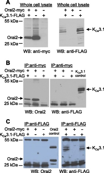 Orai2 and K Ca 3.1 proteins do not co-immunoprecipitate under the conditions used to co-immunoprecipitate Orai1 and K Ca 3.1. a Western blots using either an antibody recognising the myc epitope (left) or an antibody recognising the FLAG epitope (right) of HEK293 cell lysates. Lysates expressed either myc epitope tagged Orai2, FLAG epitope-tagged K Ca 3.1, or both as indicated in the panel above. b HEK293 cell lysates expressing the proteins indicated in the panel above were immunoprecipitated with an anti-myc antibody. Immunoprecipitates were then Western blotted using either an anti-Orai2 antibody (left) or an anti-FLAG antibody (right). Control HEK293 cell lysate expressing K Ca 3.1-FLAG protein. c As ( b ) except cell lysates were immunoprecipitated with an anti-FLAG antibody and then Western blotted with an anti-Orai2 antibody (left) or an anti-FLAG antibody (right). Control HEK293 cell lysate expressing Orai2-myc protein. Blots shown are representative of 3 independent experiments