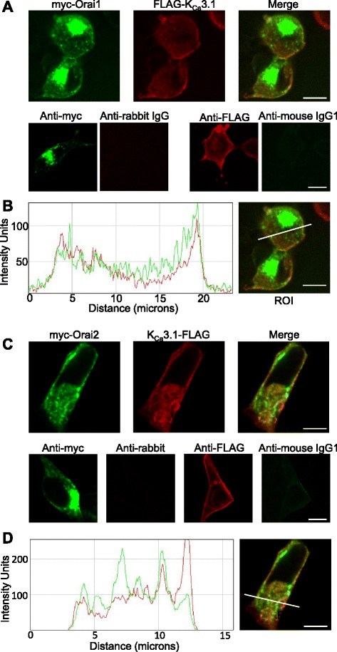 Orai1 and K Ca 3.1 co-localise in the plasma membrane. a HEK293 cells, dually transfected with FLAG-tagged K Ca 3.1 and myc-tagged Orai1 and then immunostained, show co-localisation in the plasma membrane by single plane confocal microscopy (top panels). Dually transfected HEK293 show negative staining for appropriate isotype controls (bottom panels): rabbit IgG control, dual stained with anti-myc, and mouse IgG1 control dual stained with anti-FLAG. b Fluorescence intensity plot shows increased fluorescence at the plasma membrane. myc-Orai1 is shown in green and FLAG-K Ca 3.1 in red. Arrows indicate increased fluorescence where the region of interest (ROI) intersects the plasma membrane. c HEK293 cells, dually transfected with FLAG-tagged K Ca 3.1 and myc-tagged Orai2 and then immunostained, show poor co-localisation in the plasma membrane by single plane confocal microscopy (top panels). Dually transfected HEK293 show negative staining for appropriate isotype controls (bottom panels): rabbit IgG control, dual stained with anti-myc, and mouse IgG1 control dual stained with anti-FLAG. d Fluorescence intensity plot shows poor co-localisation of K Ca 3.1 and Orai2 signals. myc-Orai2 is shown in green and FLAG-K Ca 3.1 in red. Scale bars are 10 μm