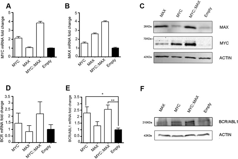 Effect of MYC and MAX on BCR and BCR/ABL1 expression in K562 cell line. MYC ( a,c ) and MAX ( b,c ) over-expression in K562 cells stably transfected with MAX, MYC, or pcDNA3 empty vector (Empty) or MYC/MAX (MYC::MAX), as evidenced by RTq-PCR ( a,b ) and Western Blot from total lysates ( c ). RT-qPCR ( d,e ) and Western Blot ( f ) show BCR and BCR/ABL1 expression levels in K562 transfectants. Actin was used as loading control. The RTq-PCR data shown in ( d,e ) represent the means ± SD (standard deviation) of three independent experiments. Data are represented as mRNA fold change compared to the Empty sample