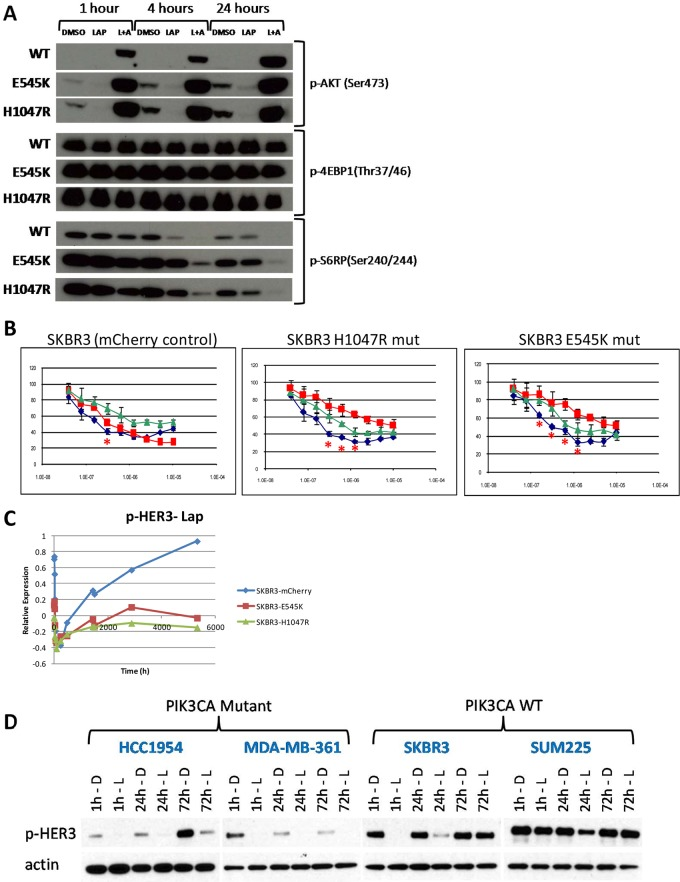A . Western blots of SKBR3 cells transduced with retroviruses encoding either PIK3CA H1047R or E545K mutant alleles or control vector (mCherry). Mutant transduced lines show increased levels of p-AKT and p-S6RP at baseline, and diminished response to lapatinib alone as measured by p-S6RP levels. Note that mutation has little effect on p-4EBP1 levels. B . Growth curves for control, E545K mutant, or H1047R mutant transduced SKBR3 cells treated with lapatinib (red), GSK690693 (green), or a combination of the two (blue). Introduction of mutations results in increased resistance to lapatinib and synergistic interactions between lapatinib and GSK690693 (doses with significant synergy are marked with a red asterisk), indicating a functional role for PIK3CA mutations in determining synergistic response to this combination. C . Analysis of RPPA time course data shows blunted recovery of p-HER3 levels in SKBR3 cells harboring PIK3CA mutations, while the control cell line shows the expected hyper-phosphorylation following lapatinib treatment. D . Western blotting confirms the lack of recovery in non-engineered cells lines with PIK3CA mutations compared to PIK3CA wild type lines.
