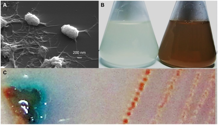 Morphology and Mn(II) oxidation by strain T-G1: (A) scanning electron micrograph of T-G1 cells, showing abundant extracellular polymeric substances; (B) Mn(II) oxidation by T-G1 as seen by a color change in PYG medium with 10 mM MnSO 4 (right) and without Mn (left); and (C) leucoberbelin blue (LBB) spot test on colony of T-G1 showing a blue color change indicative of Mn oxide production .