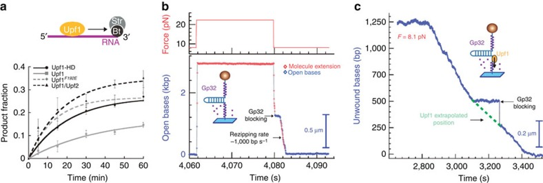 Active translocating Upf1 disrupts protein–NA interactions. ( a ) Time course for streptavidin displacement from 3′-biotinylated RNA by Upf1-HD translocation. Data points ( Supplementary Fig. S5a ) were fitted with y = A (1− e –kt ) 57 (error bars are s.d.) ( b ) Force-jump experiment showing that Gp32-B (300 nM) covers ssDNA. In the absence of Upf1, when the hairpin is open, Gp32-B binds DNA, as seen by the slowdown of the DNA hairpin refolding (from 4,080 s to about 4,082 s, F =8 pN, refolding rate of 1,000 bp s −1 ). Gp32-B is known to efficiently bind ssDNA with a dissociation rate measured as ∼1 molecule per second on 65 bp s −1 (refs 58 , 59 ). ( c ) Single-molecule analysis of Gp32-B displacement from ssDNA by translocating Upf1-HD (from 2,840 to 3,480 s) The Gp32-B protein was stripped off from ssDNA in presence of Upf1-HD and ATP (right panel). During Upf1 translocation, Gp32-B attached on the displaced strand may transiently block the fork refolding as seen in the time window (from 3,080 to 3,270 s).