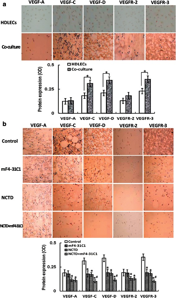 The expression of VEGF-A, VEGF-C, VEGF-D, VEGFR-2 and VEGFR-3 protein products of HCACCs and the co-culture system of each group and the effect of NCTD on expression of these protein products in vitro (S-P staining, magnification × 200). a The expression of VEGF-A, VEGF-C, VEGF-D, VEGFR-2 and VEGFR-3 protein products of HCACCs and the co-culture system of each group. The expression of VEGF-C, VEGF-D and VEGFR-3 protein products (brown staining in cytoplasm) of the co-culture system was higher than those of alone HCACC culture (* P = 0.001); but there is no difference on the expression of VEGF-A and VEGFR-2 protein products between alone HCACC culture and the co-culture system. b The inhibitory effect of NCTD on expression of these protein products of the co-culture system. The expression of VEGF-C, VEGF-D and VEGFR-3 protein products in NCTD, mF4-31C1 or NCTD + mF4-31C1 group was downregulated significantly as compared to control group (* P