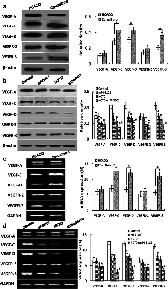 The expression of VEGF-A, VEGF-C, VEGF-D, VEGFR-2 and VEGFR-3 proteins/mRNAs of HCACCs and the co-culture system and the effect of NCTD on expression of these proteins/ mRNAs by western blotting ( a and b ) and fluorescent quantitative RT-PCR ( c and d ) in vitro . a and b Protein expression by western blotting: the expression of VEGF-C, VEGF-D and VEGFR-3 proteins of the co-culture system was higher than those of alone HCACC culture (* P = 0.001), but there was no difference on VEGF-A and VEGFR-2 expression between alone HCACC culture and the co-culture system. After treatment with NCTD, mF4-31C1 or NCTD + mF4-31C1, the expression of VEGF-C, VEGF-D and VEGFR-3 proteins of the co-culture system was downregulated significantly as compared to control group (all * P