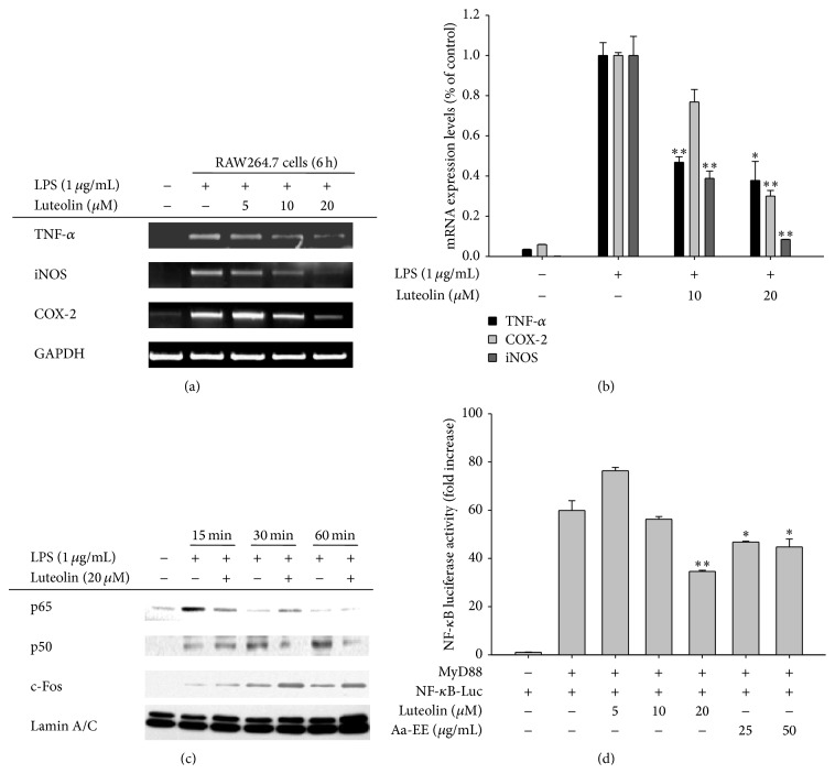 The effects of luteolin on iNOS, COX-2, and TNF- α gene expression and transcriptional regulation in LPS-treated RAW264.7 cells. ((a) and (b)) RAW264.7 cells (5 × 10 6 cells/mL) were incubated with LPS (1 μ g/mL) in the presence or absence of luteolin for 6 h. iNOS, COX-2, and TNF- α mRNA levels were determined using RT-PCR (a) and real-time PCR (b). (c) RAW264.7 cells (5 × 10 6 cells/mL) were incubated with LPS (1 μ g/mL) in the presence or absence of luteolin for the indicated times. After preparing nuclear fractions, the levels of total translocated transcription factors (p65, p50, c-Fos, and c-Jun) were determined by immunoblotting analysis. (d) HEK293 cells cotransfected with NF- κ B-Luc (1 μ g/mL) and β -gal (as a transfection control) plasmid constructs were treated with luteolin in the presence or absence of adaptor molecule (MyD88) for 12 h. Luciferase activity was determined via luminometry. All data are expressed as the mean ± SD of experiments. ∗ p