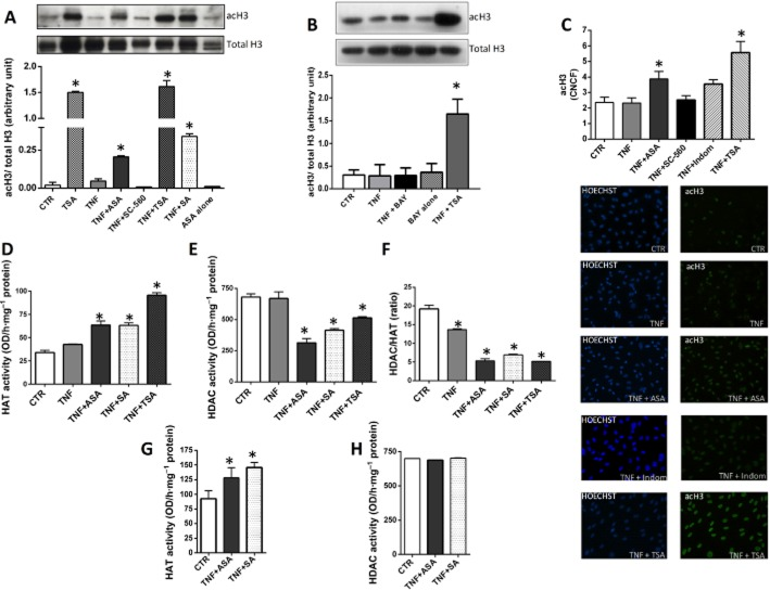 Histone 3 acetylation and netrin-1 expression in HUVECs. Western blotting (A, B) and immunofluorescence (C) studies showing degree of histone acetylation in HUVECs in response to different treatments as specified. In the Western blots, densitometric analysis of acetylated H3 (acH3) was normalized to total H3. In immunofluorescence experiments, the corrected nuclear cell fluorescence (CNCF) was calculated (C). Panels (D)–(H) show the effect of aspirin (ASA) on HAT and HDAC activities in HUVECs. HAT (D) and HDAC (E) activities, and HDAC/HAT ratio (F), were measured in nuclear extracts isolated from HUVECs following treatments as specified. Nuclear extracts were isolated from HUVECs not stimulated with TNF-α, and HAT (G) and HDAC (H) activities were tested in the presence of either ASA or salicylic acid. n = 3. ASA, 0.5 mM; SC-560, 30 nM; SA: salicylic acid, 0.5 mM; Indom: indomethacin, 100 μM; TSA, 400 nM; TNF-α, 10 ng·mL −1 ; Bay 11-7085 (BAY), 5 μM. * P