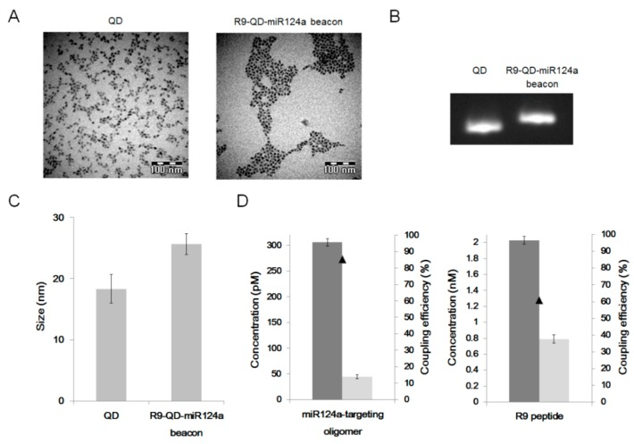 Characterization of the R9-QD-miR124a beacons. ( A ) Transmission electron microscopy (TEM) images; ( B ) electrophoretic shift assay; and ( C ) dynamic light scattering (DLS) analysis of the unconjugated QDs and the R9-QD-miR124a beacons; ( D ) Coupling efficiencies of the miR124a-targeting oligomer and the R9 peptide to QDs.