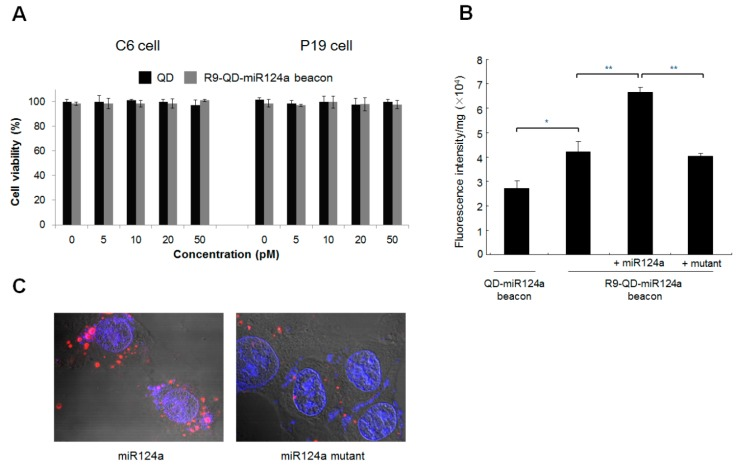The activation of fluorescence intensity of the R9-QD-miR124a beacon in C6 cells. ( A ) In vitro cytotoxicity of QDs and the R9-QD-miR124a beacons in cells; ( B ) R9 peptide conjugation improved internalization efficiency and miR124a specificity of the R9-QD-miR124a beacons in C6 cells. The fluorescence signal from the quenched R9-QD-miR124a beacons was activated in the exogenous miR124a-treated group (300 pM), unlike in the mutant-treated group (300 pM); ( C ) The visualization of fluorescence recovery of the R9-QD-miR124a beacons in C6 cells. The R9-QD-miR124a beacons were incubated with C6 cells for 1 h 30 min, and exogenous miR124a or the miR124a mutant was added to the pre-treated C6 cells. Confocal microscopy imaging showed that the fluorescence signal of the R9-QD-miR124a beacons was significantly activated in C6 cells after treatment with exogenous miR124a. In contrast, induction of the miR124a mutant showed a weak fluorescence signal of the R9-QD-miR124a beacon in C6 cells, suggesting maintenance of the quenched fluorescence signal.