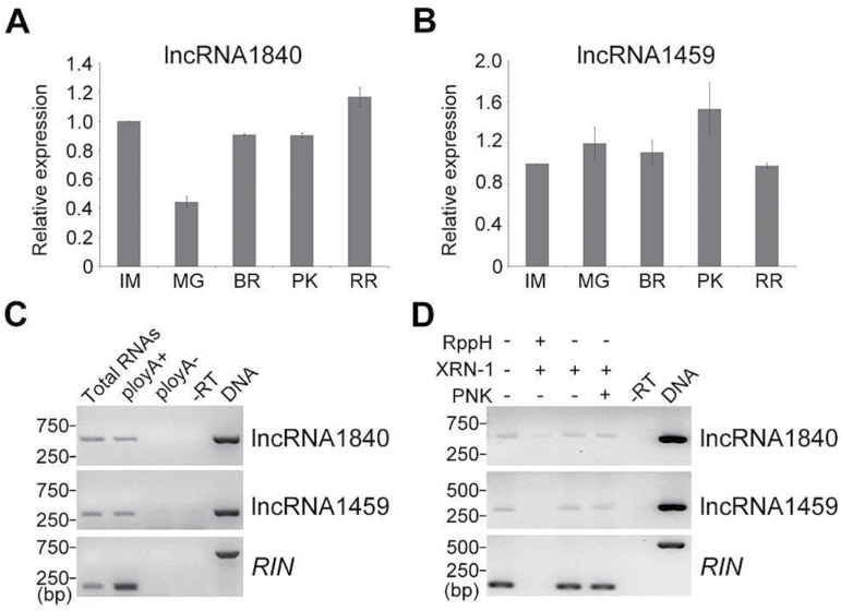 Features of lncRNA1840 and 1459. Analysis of expression of lncRNA1840 (A) and lncRNA1459 (B) during fruit ripening. Actin expression values were used for internal reference. The relative level of lncRNA transcripts was normalized to that at the IM stage of AC fruits where the amount was arbitrarily assigned a value of 1. Error bars indicate ±SD of three biological replicates, each measured in triplicate. IM, immature green; MG, mature green; BR, breaker; PK, pink; RR, red-ripe stage. (C) Determination of the 3′ end structure of lncRNAs. Random-primed RT–PCR was performed on total RNAs, poly(A) + , and poly(A) – RNAs from tomato fruits to detect novel lncRNAs. (D) Analysis of the 5′ end structure of lncRNAs. Total RNAs from tomato fruits were treated (+) or not (–) with various enzymes and subjected to random-primed RT–PCR to detect specific lncRNAs. RppH, 5′ pyrophosphohydrolase; XRN-1, 5′ to 3′ exoribonuclease; PNK, polynucleotide kinase. –RT, reverse transcription was performed in the absence of reverse transcriptase. Transcript from RIN was detected by RT–PCR as a control for poly(A) + RNA and capped RNA. PCRs with genomic DNA were used as positive controls. The amplification region of RIN primers contained one intron which results in a larger PCR product of DNA template than the others.