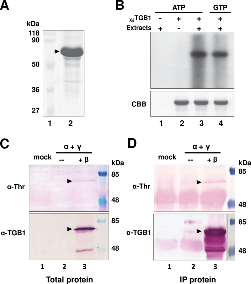Phosphorylation of the XJ TGB1 protein in vitro and in vivo . (A) Coomasie Brilliant Blue (CBB) staining of recombinant XJ TGB1 protein purified from E. coli cells. Molecular weight markers (Fermentas) are indicated on the left side of the gel. (B) In vitro phosphorylation of purified XJ TGB1 protein by cellular kinases present in healthy N. benthamiana extracts in the absence or presence of [γ- 32 P]ATP or [γ- 32 P]GTP. After the phosphorylation reactions, the TGB1 proteins were separated by 12.5% SDS-PAGE and the incorporated radioactivity was analysed by autoradiography. Reaction mixtures lacking XJ TGB1 protein or N. benthamiana protein extracts served as negative controls. The CBB staining in the lower panel indicates that similar amounts of the XJ TGB1 protein were present in each in vitro phosphorylation reaction. (C) In vivo phosphorylation of XJ TGB1 protein in N. benthamiana by Western blotting with α-TGB1 polyclonal antibodies and α-threonine antibodies. A mock agroinfiltration lacking XJ RNAβ was used as a negative control and molecular weight markers (Thermo Scientific) were used to estimate the size of the XJ TGB1 protein. (D) In vivo phosphorylation of XJ TGB1 protein immunoprecipitated (IP) from N. benthamiana was analysed as in Fig. 2C . (This figure is available in colour at JXB online.)