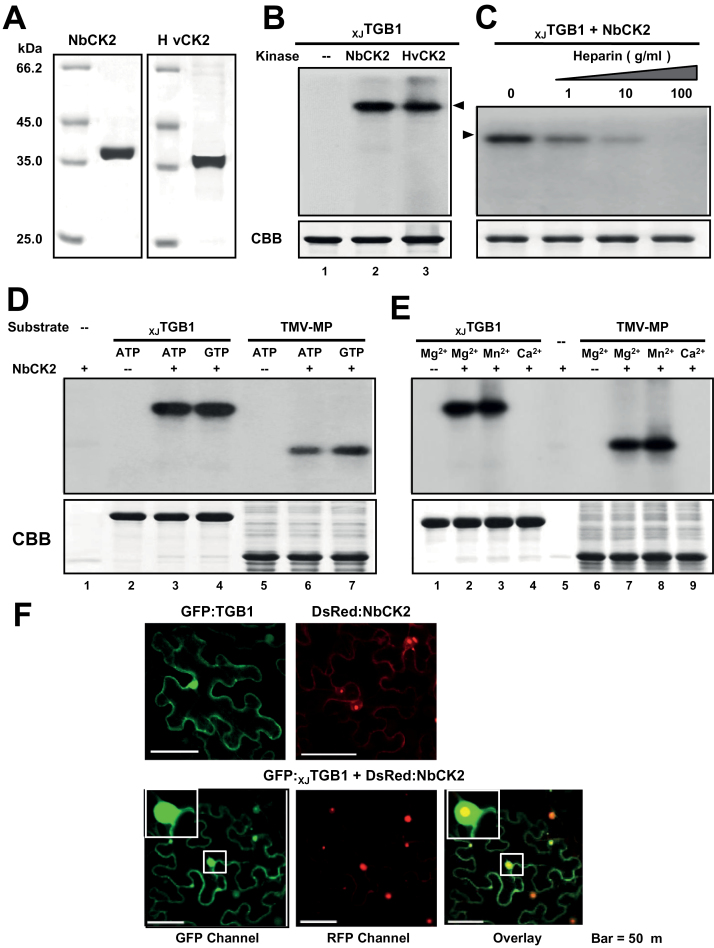 In vitro phosphorylation of XJ TGB1 protein by recombinant CK2 kinase. (A) SDS-PAGE analysis of NbCK2α and HvCK2α purified from E. coli BL21 cells. (B) In vitro phosphorylation of XJ TGB1 protein with the NbCK2α and HvCK2α recombinant proteins and negative controls lacking the kinases. (C) Effects of heparin on in vitro phosphorylation of XJ TGB1 protein. Phosphorylation levels were reduced with increasing amount of heparin. (D) Ability of NbCK2α to use both ATP and GTP as phosphate donors. (E) Divalent metal ion specificity of NbCK2α and the TMV-MP (P30) proteins. The CBB-stained proteins at the bottom of panels (B)–(E) are as indicated as in Fig. 2B . (F) Co-localization of the GFP: XJ TGB1 and DsRed:NbCK2α proteins in N. benthamiana leaf cells. Single localization of GFP: XJ TGB1 and DsRed:NbCK2α proteins are indicated at the top of the panels. Bars, 50 μm. (This figure is available in colour at JXB online.)