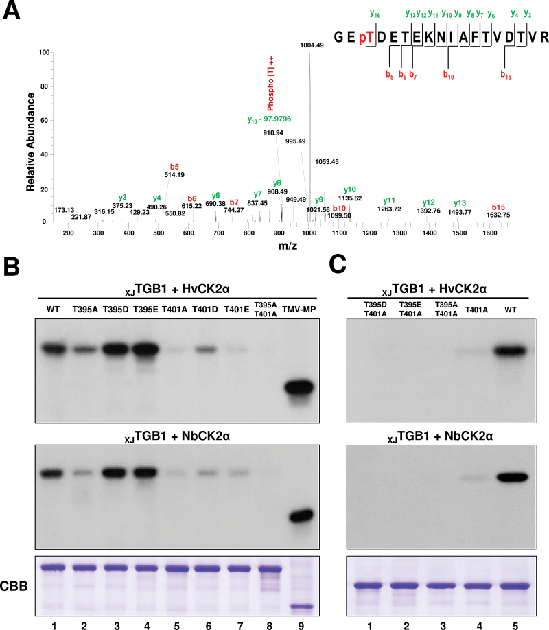 Thr-401 is the major XJ TGB1 protein site for CK2 phosphorylation. (A) LC-MS/MS analysis of XJ TGB1 protein phosphorylation by NbCK2α. The absence of phosphoric acid (97.9769Da) on the y 16 ion fragment demonstrates that Thr-401 is a phosphorylation site for CK2 kinase. (B) Identification of the phosphorylation sites in XJ TGB1 protein mutants by in vitro phosphorylation with HvCK2α and NbCK2α. The radioactive intensities of the XJ TGB1 protein and its phosphorylation mutants indicate the extent of radiolabelling with [γ- 32 P]ATP. CBB-stained proteins at the bottom of the panels (B) and (C) are as indicated in Fig. 2B . (C) Phosphorylation comparisons of selected XJ TGB1 protein mutants with wt XJ TGB1 protein to confirm that Thr-401 is the major phosphorylated residue. (This figure is available in colour at JXB online.)