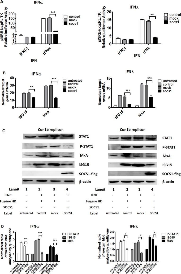 "Over-expression of SOCS1 blocked IFN-α and IFN-λ signaling pathway. Over-expression of SOCS1 repressed IFN-induced ISRE-luciferase activity (A), decreased IFN-α and IFN-λ induced ISG15 and MxA (B) mRNA and protein levels (C) and STAT1 phosphorylation (C) in Con1b replicon cell. (D) Western blot data analyzed by Quantity One are expressed as the means of ratios of targeted genes (pSTAT1, ISG15 and MxA) /β-actin. Con1b cells were cotransfected with pCR3.1 (mock) or pCR3.1/SOCS1, pISRE-luc and pRL-TK for 24 hours and then 100 IU/mL IFN-α and 50 ng/mL IFN-λ was added to the cells for 24 hours respectively. The firefly and Renilla luciferase activity was measured. Total RNA was harvested and reverse transcribed. Cells were transfected with pCR3.1 (mock) or pCR3.1/SOCS1 for 24 hours and then treated with 100 IU/mL IFN-α and 50 ng/mL IFN-λ respectively for 24 hours and the cells were collected. Cell lysates were harvested and the levels of mRNA expression of ISG15 and MxA were determined by quantitative real time PCR normalized to GAPDH. In addition, the cell were analyzed by immunoblotting with the indicated antibodies as described in Materials and Methods. The samples for Tyrosine phosphorylation of STAT1 (pSTAT1) were harvested after incubating with IFNs for 15 min. Shown is one representative Western blot out of three performed experiments. + with;—without. Data are presented as means ± SEM, n = 3. Error bars indicate standard error of mean (SEM). ""*"" means p values less than 0.05; ""**"" p values less than 0.01; ""***"" means p values less than 0.001."
