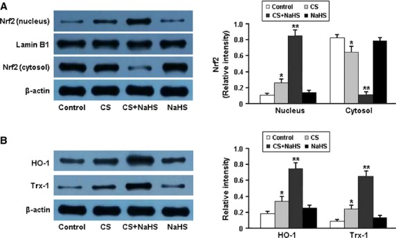 Representative immunoblots and densitometric analysis of Nrf2 in nucleus and cytosol (A) and its downstream targets HO-1 and Trx-1 (B). * P