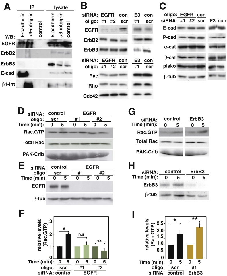 EGFR, but not ErbB3, is required for cadherin-dependent Rac activation. A, Following induction of cell–cell contacts, keratinocyte lysates were immunoprecipitated with anti-E-cadherin antibodies, anti-α3-integrin (positive control) or no antibody (control) and probed with antibodies against proteins shown on the left of panels. B–C, Keratinocytes were treated with EGFR (oligo #1, oligo #2), ErbB3 (E3) or control (scr) siRNA oligos for 48 h. Equal amount of protein was separated on SDS–PAGE and probed with antibodies against proteins shown on the left of each panel. D–I, Keratinocytes were transfected with different siRNA oligos and junctions were initiated for 5 min by the addition of calcium ions and active Rac levels measured. D and G, Proteins were precipitated with GST–PAK-Crib beads (Rac∙GTP) and lysates (Total Rac) were probed with anti-Rac antibodies. The amount of GST fusion protein in each sample was evaluated by Amido Black staining (PAK-Crib). E and H, Depletion of EGFR or ErbB3 are shown. Beta-tubulin is shown as a loading control. F and I, Cell–cell-adhesion-dependent Rac activation was quantified and normalised to Rac·GTP levels at time 0 (no cell–cell contacts) for each siRNA group. Data is representative of 3 independent experiments (thereafter N = 3). *, p