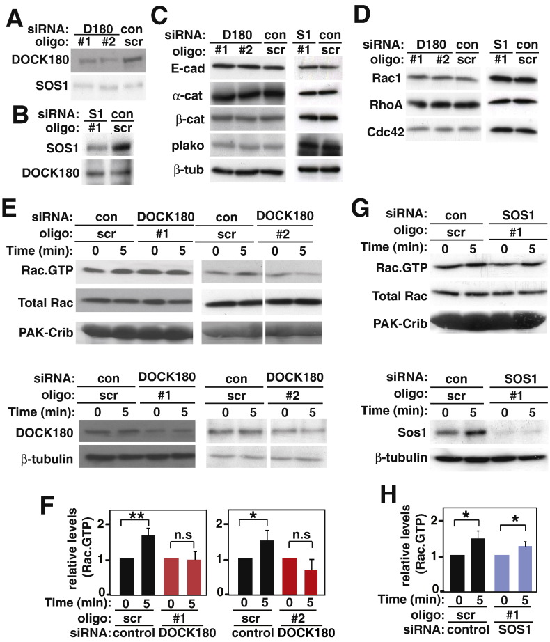 DOCK180 is required for E-cadherin-mediated Rac activation. Cells were treated with DOCK180 (oligo #1, oligo #2), SOS1 (oligo #1) or control (scr) siRNA oligos. A–D, Lysates were prepared and used to determine efficiency of knockdown (A, B) and its specificity for DOCK180 or SOS1 depletion (C, D). Equal amounts of protein were separated on SDS–PAGE and probed with antibodies against proteins as shown on the left of each panel. E–H, Activation levels of Rac after 5 min of cell–cell contact formation. Pull down using GST–PAK-Crib was performed to precipitate active Rac (Rac∙GTP). E and G, Samples were probed with antibodies listed on the left of panels. Fusion proteins in each sample were evaluated by Amido black staining (PAK-Crib). Depletion of DOCK180 and SOS1 is shown and β-tubulin used as a loading control. F and H, Cell–cell adhesion-dependent Rac activation. Rac·GTP was quantified at different time points and normalised to Rac·GTP levels at time 0 (no cell–cell contacts) for each siRNA group (scr, DOCK180 or SOS1). N = 3; *, p