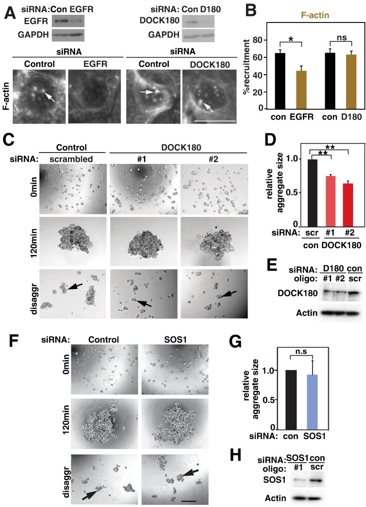 DOCK180 stabilizes pre-formed junctions. Keratinocytes were treated with siRNA oligos as labelled in the different panels and processed to determine actin recruitment to clustered E-cadherin (A–B) or aggregation assays (C–H). A–B, Following depletion of EGFR or DOCK180, cells were incubated with antibody-coated latex beads for 15 min and stained for F-actin. F-actin clusters are shown by arrows (A) and the proportion of attached beads containing F-actin clusters was quantified and expressed relative to controls (B). C–H, Keratinocytes depleted of DOCK180 (C–E) or SOS1 (F–H) were trypsinised and allowed to aggregate in suspension in the presence of calcium ions for 120 min, followed by disaggregation. C and F, Phase contrast images of initial samples, following aggregation for 120 min and after mechanical stress (disaggr). Black arrows point to aggregates. D and G, Relative sizes of all remaining aggregates were measured and shown in comparison to controls (arbitrarily set as 1). E and H, Confirmation of depletion efficiency following DOCK180 or SOS1 RNAi. Equal amounts of protein were loaded, actin used as a loading control. N = 3. Scale bar = 15 μm (A) or 200 μm (C, F). *, p