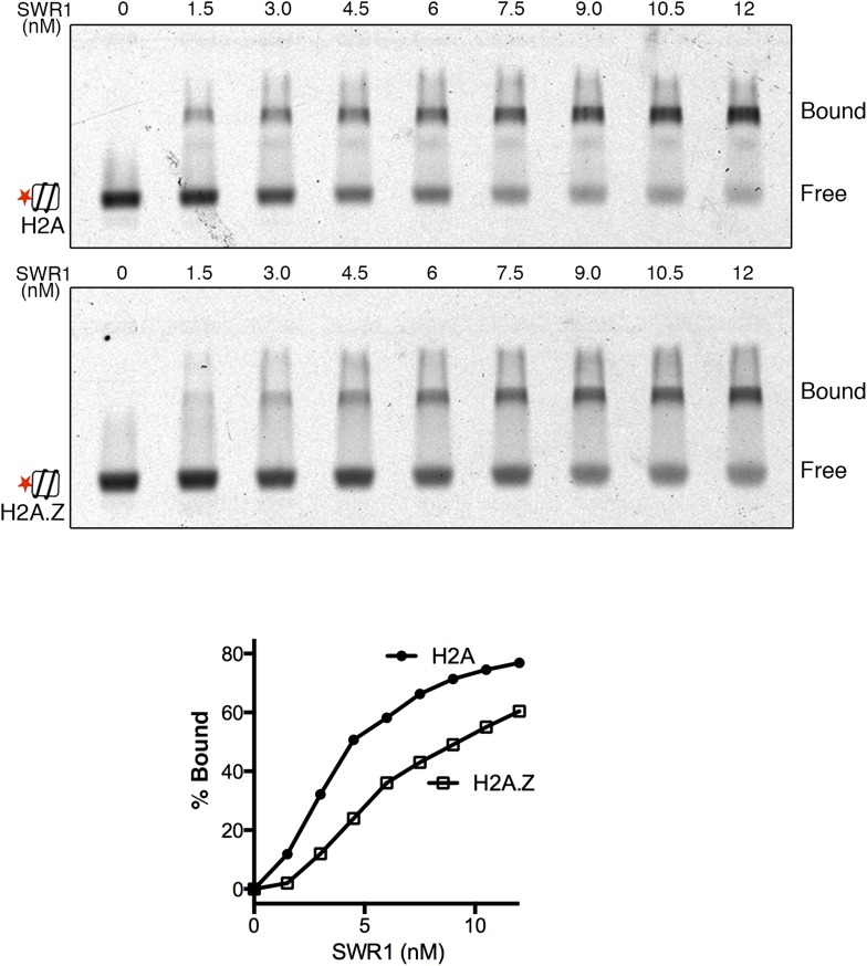 SWR1 binding to nucleosome core particles containing H2A or H2A.Z histone. EMSA shows SWR1 binding to Alexa 647-labeled H2A- and H2A.Z-nucleosome core particles (1 nM). Free and bound complexes are resolved on 1.3% agarose gel. Bottom: binding curves for H2A- and H2A.Z-nucleosome core particles. DOI: http://dx.doi.org/10.7554/eLife.06845.004