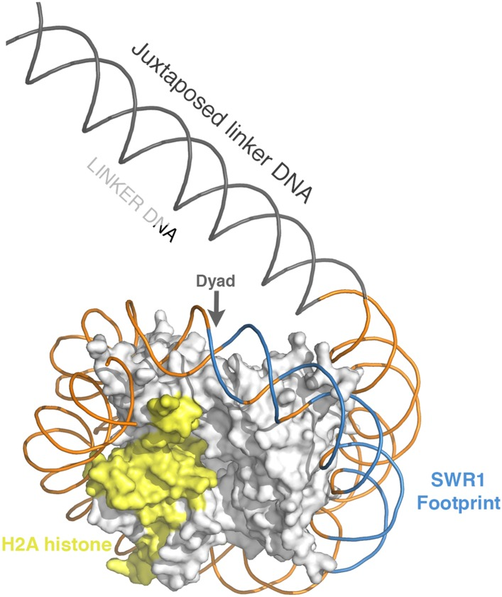 Position of SWR1 footprint on linker-distal face of nucleosome. The 601 DNA-containing nucleosome structure PDB 3MVD was modeled to highlight the position of the SWR1 footprint in blue on the linker-distal side of the dyad axis. The H2A on the linker-distal face is in yellow. DOI: http://dx.doi.org/10.7554/eLife.06845.008