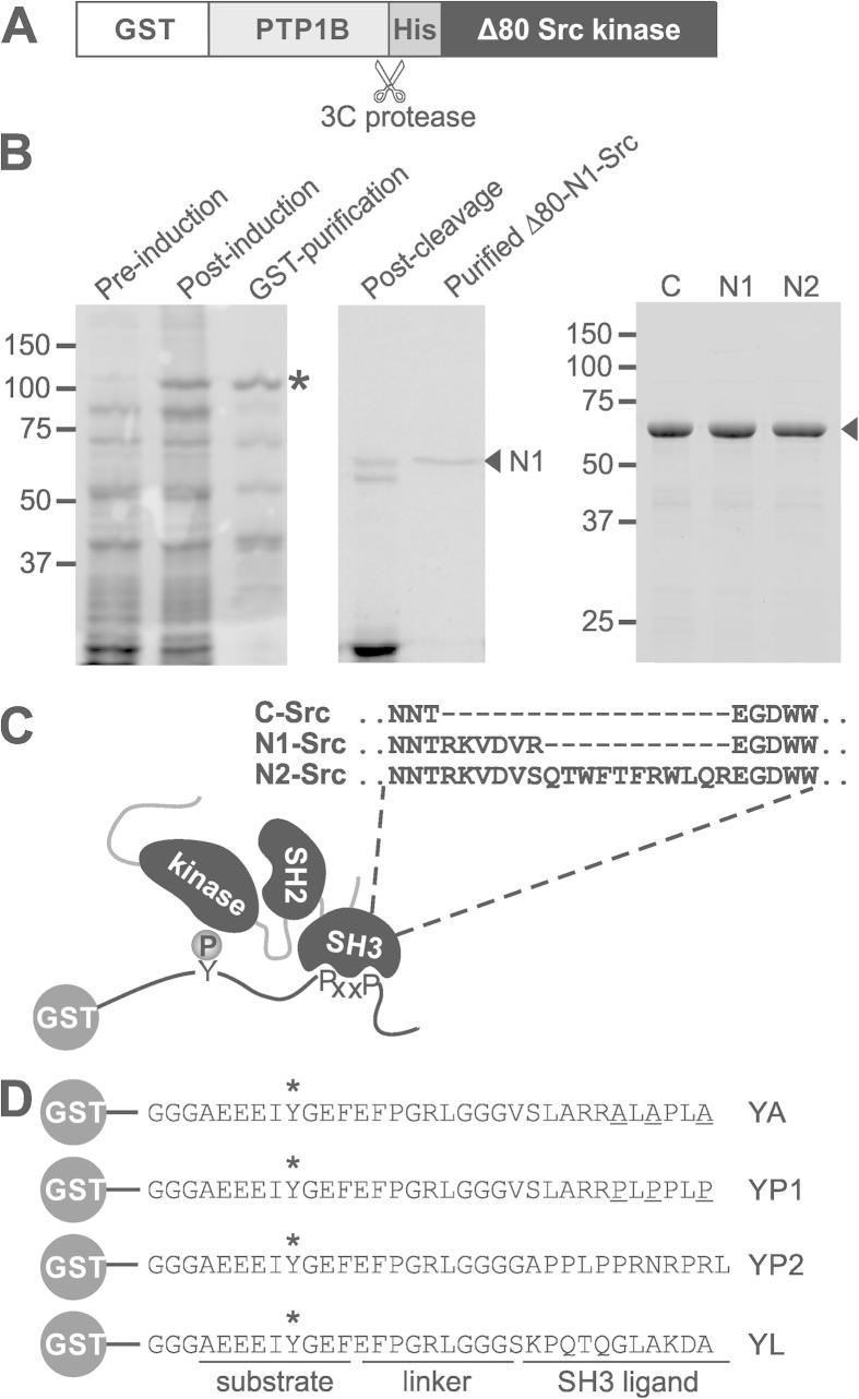 Expression and purification of active Src kinases for in vitro kinase assays. (A) Schematic of the GST-PTP1B-His-Δ80Src construct (lacking the first 80 residues of rat full length Src) used to express active Src kinases in E. coli . The <t>3C</t> protease site to produce His-Src is indicated. (B) Coomassie stained SDS–PAGE gels showing the stages of a representative expression and purification of GST-PTP1B-His-Δ80N1-Src (asterisk; left panel) and its cleavage to yield His-Δ80N1-Src (arrow; middle panel). The right panel shows a comparison of purified His-Δ80C-, N1- and N2-Srcs (arrow). (C) Schematic showing the principles of an in vitro Src kinase assay in which GST-peptide substrates contain a tyrosine residue that can be phosphorylated by the Src kinase domain, and a proline rich sequence inserted at the position of PxxP to assess the effect of SH3 domain binding. The primary sequences of the n-Src loops of the C-, N1- and N2-Src SH3 domains are also depicted. (D) Primary sequences of the GST-peptide substrates used in this study. All substrates contain a phosphorylatable tyrosine residue (*). YP1 and YP2 contain canonical Class I and Class II C-Src SH3 domain binding sequences. YA is a mutant of YP1 in which the prolines have been substituted with alanine (underlined) and YL contains the SH2:kinase linker sequence.