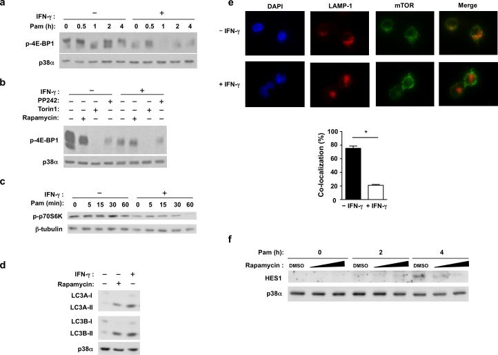 IFN-γ suppresses mTORC1 activation and downstream functions ( a-c ) Immunoblot analysis of whole cell lysates from control or IFN-γ-treated macrophages stimulated with Pam3CSK4 (10 ng/ml) for the indicated times and probed with antibodies against p-4E-BP1 ( a , b ) or p-p70S6K ( c ). In ( b ), mTOR inhibitors PP242 (50 nM ), Torin1 (50 nM) or <t>Rapamycin</t> (500 nM) were added for 30 min. ( d ) Immunoblot analysis of LC3A and LC3B in control or IFN-γ-primed macrophages. ( e ) Upper: Immunofluorescence images of LAMP1 (red) and mTOR (green) co-staining in control or IFN-γ-primed macrophages stimulated with Pam3CSK4 (10 ng/ml) for 4 h; nuclei were stained with DAPI (blue). Quantitation of co-localization (lower panel) between LAMP1 and mTOR; data are presented as mean ± SEM of the percentage of co-localized cells from 600 cells analyzed in three independent experiments; * p = 0.0001 by unpaired student t test. ( f ) Immunoblot analysis of HES1 in human primary macrophages pretreated for 30min with vehicle control DMSO or increasing concentrations of Rapamycin (0 nM, 500 nM, 1 μM), and then stimulated with Pam3CSK4 (10 ng/ml) for 0, 2, or 4h; p38α serves as loading control. Data are representative of at least three independent experiments ( a-e ).