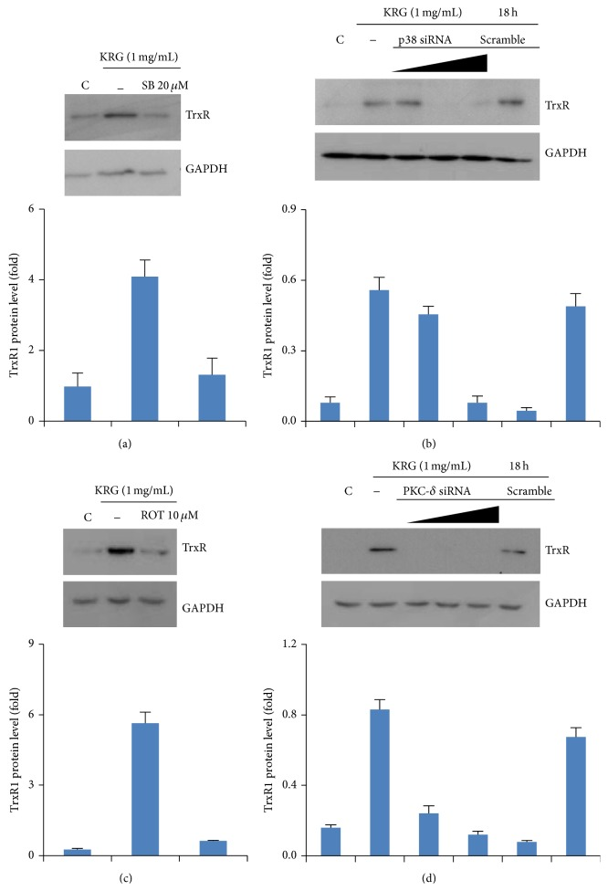 Involvement of p38 and PKC- δ signaling pathway in KRG-treated TrxR1 expression in HUVECs. Cells were pretreated with 20 μ M SB203580 (p38 inhibitor) or 10 μ M Rottlerin (PKC- δ inhibitor) for 1 h, followed by incubation with 1 mg/mL KRG for 18 h. Whole cell lysates were analyzed by Western blot with antibodies against TrxR1 and GAPDH (a and c). Transient transfection of cells with 10–30 nM p38 and PKC- δ siRNA suppressed the upregulation of TrxR1 expression by KRG (b and d).