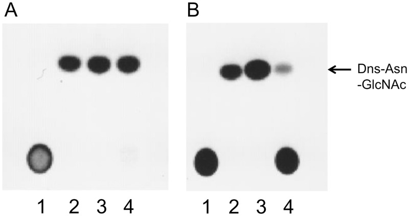Analyses of hydrolase activity of Endo-CCs by TLC. Reaction mixtures containing Dns-Man 5 GlcNAc 2 Asn or Dns-sialylglyco-Asn and Endo-CC1 (A) or Endo-CC2 (B) were analyzed by TLC. Lane 1, Dns-sialylglyco-Asn without any added enzyme; lane 2, Dns-Asn-GlcNAc without any added enzyme; lane 3, Dns-Man 5 GlcNAc 2 Asn with added enzyme; lane 4, Dns-sialylglyco-Asn with added enzyme.