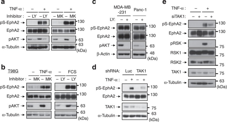 The phosphorylation of EphA2 at Ser-897 is induced by TAK1, but not by Akt. ( a , b ) HeLa ( a ) or T98G ( b left) cells were pre-treated with LY294002 (10 μM) or MK-2206 (10 μM) for 30 min and then stimulated with TNF-α for 20 min. T98G cells were starved using FCS-free medium for 24 h, treated with LY294002 for 30 min and then treated with 10% FCS for 10 min ( b , right). ( c ) MDA-MB-231 and Panc-1 cells were treated with LY294002 for 30 min. ( d ) HeLa cells stably transfected shRNA expression vectors against luciferase and TAK1 were stimulated with TNF-α for 20 min. ( e ) HeLa cells were transfected with siRNAs against TAK1 or negative control. At 72 h post transfection, cells were treated with TNF-α for 20 min. Whole-cell lysates were immunoblotted with anti-pS-EphA2, EphA2, pAKT, pRSK, RSK1, RSK2, TAK1, β-actin and α-tubulin antibodies.