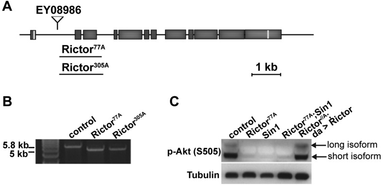 Rictor and Sin1 mutant alleles. (A) Schematic representation of the Rictor locus and the mutant alleles Rictor 77A and Rictor 305A . (B) PCR product of the Rictor open reading frame (ORF) amplified from cDNA of Rictor mutant and control flies. In the deletion mutants, the length of the Rictor ORF is 757 bp shorter than in the control, resulting in a premature stop codon after 58 amino acids. (C) Western blot visualization of Akt phosphorylation (p-Akt) on S505 in lines 1A (control), the Rictor 77A mutant, the Sin1 mutant, the double Rictor 77A ; Sin1 mutant and in the Rictor 77A carrying a rescuing a Rictor transgene ( da > Rictor ). Note that p-Akt is reduced in Rictor and Sin1 single mutants and in Rictor ; Sin1 double mutants. Reduced phosphorylation is rescued with ubiquitous expression of Rictor .