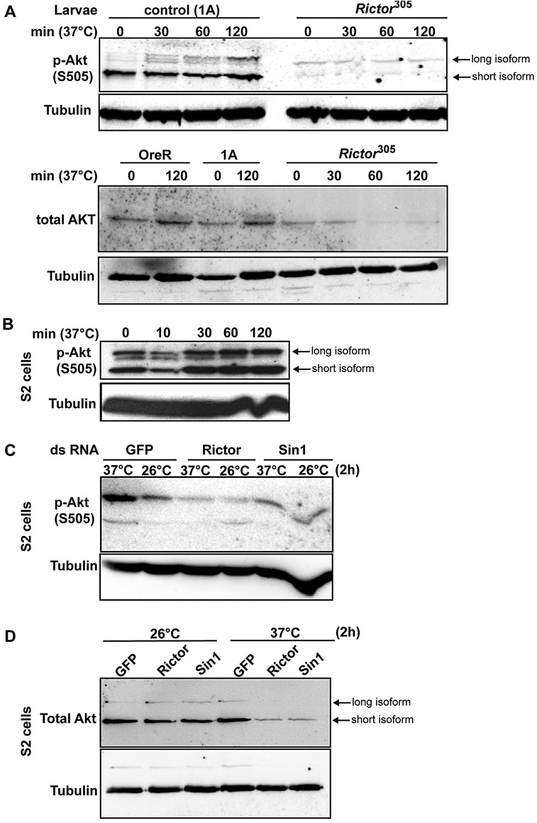 Akt phosphorylation on S505 and stability upon heat stress are TORC2 dependent. (A) Western blot of Akt phosphorylated on S505 (p-Akt)and total Akt in lysates of control and Rictor 77A homozygous mutant larvae upon heat exposure for up to 2 h. Note that in Rictor mutants, the heat-induced Akt phosphorylation is not observed and that Akt is lost upon heat stress. (B) Western blot of p-Akt in lysates of S2 cells upon heat stress at 37°C for increasing time (up to 2 h). (C) Western blot of p-Akt in GFP -, Rictor - and Sin1 -depleted S2 cells exposed at 37°C for 2 h. Note that p-Akt does not increase upon loss of TORC2 function. The lower band in this blot is non specific. (D) Western blot of total Akt in GFP -, Rictor - and Sin1 -depleted S2 cells exposed to 26°C and 37°C for 2 h. Note that the Akt level is similar for all conditions at 26°C as well as for mock-depleted conditions at 37°C but dramatically drops in heat-exposed Rictor - and Sin1 -depleted cells.