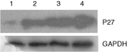 The expression of P27 was upregulated in response to cytokine-induced killer cells by Western blot analysis of A549 cells. Analysis of variance with subsequent multiple comparisons test. Control group: lane 1: treated group; lane 2: 10:1 effector-to-target cell (E/T) ratio; lane 3: 20:1 E/T ratio; lane 4: 30:1 E/T ratio. GAPDH, glyceraldehyde 3-phosphate dehydrogenase.