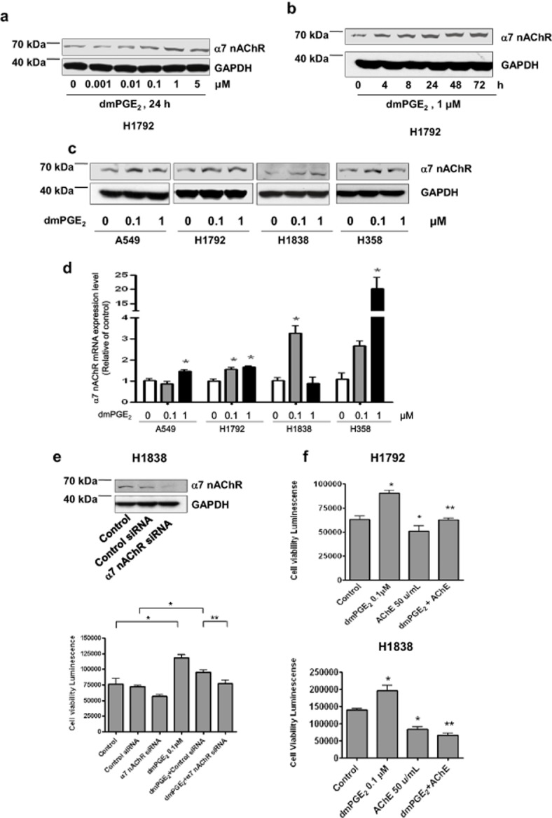 Prostaglandin E 2 (PGE 2 ) increases α7 nicotinic acetylcholine receptor (nAChR) protein expression and induces cell growth partly through α7 nAChR-dependent cholinergic signaling. (a) Cellular protein was isolated from H1792 cells that were cultured with increased concentrations of dmPGE 2 as indicated for 24 hours followed by Western blot analysis with antibodies against α7 nAChR protein. (b) Cellular protein was isolated from H1792 cells that were cultured with dmPGE 2 (1 μM) for the indicated time, followed by Western blot analysis with antibodies against α7 nAChR protein. (c) Cellular protein was isolated from several non-small cell lung cancer (NSCLC) cell lines (A549, H1792, H1838, and H358) that were cultured with dmPGE 2 (0.1, 1 μM) for up to 24 hours, followed by Western blot analysis with antibodies against α7 nAChR protein. Glyceraldehyde 3-phosphate dehydrogenase (GAPDH) served as an internal control for normalization purposes. (d) Total ribonucleic acid (RNA) was isolated from several NSCLC cell lines (A549, H1792, H1838, and H358) treated with dmPGE 2 (0.1, 1 μM) for up to 24 hours and real time reverse transcription polymerase chain reaction was performed for evaluating α7 nAChR messenger RNA expression. GAPDH served as an internal control for normalization purposes. (e) H1838 cells were transfected with control or α7 nAChR small interfering RNA (100 nM) for 24 hours before exposure of the cells to dmPGE 2 (0.1 μM) for up to three days. The viable cells were then determined by Cell Titer-Glo Luminescent Cell Viability Assay kit (Promega). (f) H1792 and H1838 cells were cultured with dmPGE 2 (0.1 μM) in the presence or absence of AChE (50 U/mL) for up to five days. The viable cells were then detected using the Cell Titer-Glo Luminescent Cell Viability Assay kit. All data were depicted as mean ± standard deviation. * indicates significant difference compared to the untreated cell group. ** indicates significant difference of combination treatment compared to dmPGE 2 alone ( P