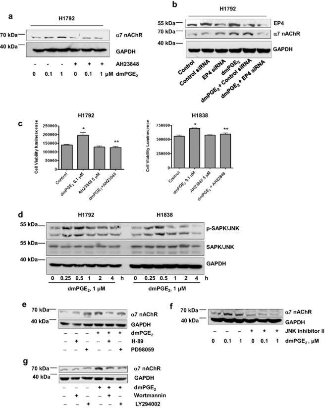 Prostaglandin E 2 (PGE 2 ) increases α7 nicotinic acetylcholine receptor (nAChR) gene expression via EP4 and phosphatidylinositol 3-kinase (PI3-K), protein kinase A (PKA), and c-Jun N-terminal kinase (JNK) signals. (a) Cellular protein was isolated from H1792 cells cultured for up to two hours in the presence or absence of AH23848 (5 μM) before exposure of cells to dmPGE 2 (0.1, 1 μM) for an additional 48 hours, then subjected to Western blot analysis for α7 nAChR protein. (b) Cellular protein was isolated from H1792 cells cultured for 24 hours in the presence or absence of the control or EP4 small interfering ribonucleic acid (100 nM) before exposure of cells to dmPGE 2 (1 μM) for an additional 24 hours, and then subjected to Western blot analysis for EP4 and α7 nAChR protein. (c) H1792 and H1838 cells were cultured with dmPGE 2 (0.1 μM) in the presence or absence of AH23848 (5 μM) for up to five days. The viable cells were then detected using a Cell Titer-Glo Luminescent Cell Viability Assay kit (Promega). (d) Cellular protein was isolated from H1838 and H1792 cells treated with dmPGE 2 (1 μM) for the indicated time followed by Western blot analysis with antibodies against phospho-SAPK/JNK and SAPK/JNK proteins. (e) Cellular protein was isolated from H1792 cells treated with H-89 (10 μM) or PD98059 (10 μM) for two hours before exposure of the cells to dmPGE 2 (1 μM) for an additional 48 hours, then subjected to Western Blot analysis for α7 nAChR protein. (f) Cellular protein was isolated from H1792 cells treated with JNK inhibitor II (20 μM) for two hours before exposure of the cells to dmPGE 2 (0.1, 1 μM) for an additional 48 hours, then subjected to Western Blot analysis for α7 nAChR protein. (g) Cellular protein was isolated from H1792 cells treated with Wortmannin (1 μM) or LY294002 (10 μM) for two hours before exposure of the cells to dmPGE 2 (1 μM) for an additional 48 hours, then subjected to Western Blot analysis for α7 nAChR protein. Glyceraldehyde 3-phosphate dehydrogenase (GAPDH) served as internal control for loading purposes. Control , indicates untreated control cells. * indicates significant difference compared to the untreated cell group. ** indicates significant difference of combination treatment as compared to the dmPGE 2 alone ( P
