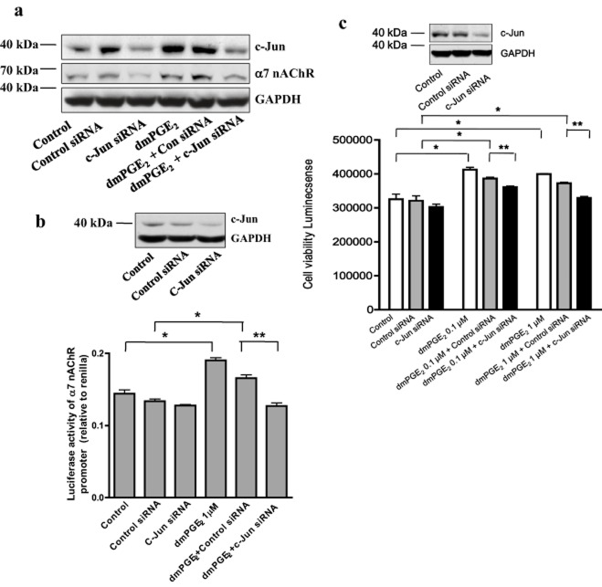The role of c-Jun in mediating the effect of prostaglandin E 2 (PGE 2 ) on α7 nicotinic acetylcholine receptor (nAChR) expression and cell growth. (a) H1792 cells were transfected with control or c-Jun small interfering ribonucleic acid (siRNA) (100 nM) for 24 hours before exposure of the cells to dmPGE 2 (1 μM) for an additional 48 hours. Western blot analysis was then performed to examine for α7 nAChR and c-Jun protein. Glyceraldehyde 3-phosphate dehydrogenase (GAPDH) served as loading control. (b) H1792 cells were transfected with control or c-Jun siRNAs (100 nM) together with a wild type Chrna7 promoter reporter construct ligated to a luciferase reporter gene and an internal control for 24 hours. Cells were then exposed to dmPGE 2 (1 μM) for an additional 24 hours. A Dual Luciferase Reporter kit (Promega) determined luciferase activity. The insert in the upper panel represents Western blot results for c-Jun protein. GAPDH served as internal control for normalization purposes. (c) H1838 cells were transfected with control or c-Jun siRNAs (100 nM) for 24 hours. Cells were then exposed to dmPGE 2 (0.1, 1 μM) for an additional 72 hours. A Cell Titer-Glo Luminescent Cell Viability Assay kit (Promega) determined cell numbers. The insert in the upper panel represents Western blot results for c-Jun protein. GAPDH served as internal control for normalization purposes. The bars below represent the mean ± standard deviation of at least three independent experiments for each condition. * indicates significant increase of activity compared to controls. ** indicates significance of combination treatment compared to dmPGE 2 alone ( P
