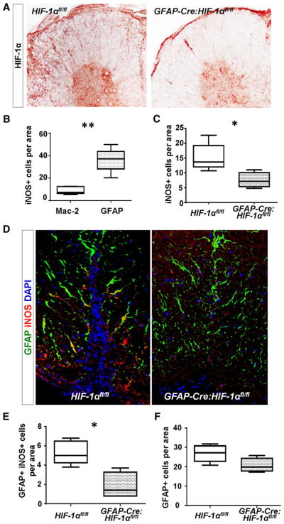 Genetic depletion of HIF-1 α in astrocytes decreases expression of HIF-1 α and <t>iNOS</t> in astrocytes. A , Staining for HIF-1 α in <t>GFAP-Cre:HIF-1α</t> fl/fl and HIF-1α fl/fl mice after EAE. B , Quantification of iNOS expression in Mac-2+ macrophages and GFAP-expressing astrocytes at peak EAE in HIF-1α fl/fl mice ( n = 5). Area = 0.056 mm 2 . Data are presented as mean ± SEM from n = 5 mice. Statistical analysis was performed using an unpaired t -test with Welch's correction ( p = 0.003 ° ). C , Quantification iNOS+ cells at peak EAE in HIF-1α fl/fl ( n =5) and GFAP-Cre:HIF-1α fl/fl ( n =4) mice. Area =0.056 mm 2 . Data are presented as mean ±SEM. Statistical analysis was performed an unpaired t test ( p = 0.034 p ). D , Double-immunofluorescence of GFAP (green) and iNOS (red) in HIF-1α fl/fl and GFAP-Cre:HIF-1α fl/fl mice at peak EAE. Statistical analysis was performed using an unpaired t test ( p = 0.01 q ). E , Quantification of iNOS+ GFAP+ cells reveals reduced iNOS-expressing astrocytes in GFAP-Cre:HIF-1α fl/fl ( n = 4) compared with HIF-1α fl/fl ( n = 5) mice. Area = 0.056 mm 2 . Statistical analysis was performed using an unpaired t test ( p = 0.0159 q ). F , Quantification of GFAP+ astrocytes shows similar numbers of astrocytes in GFAP-Cre:HIF-1α fl/fl ( n = 4) and HIF-1α fl/fl ( n = 5) mice at peak EAE. Area = 0.056 mm 2 . Data are presented as mean ± SEM. Statistical analysis was performed using an unpaired t test ( p = 0.06 r ). Superscript letters refer to the statistical results in Tables 1 , 2 , and Results.