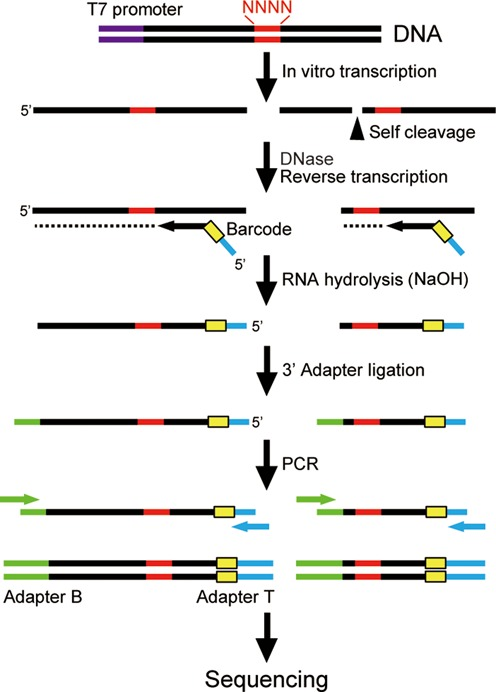 Library construction strategy. First, a partially randomized ribozyme library is transcribed in vitro from a DNA template. The cleaved and uncleaved ribozymes are reverse transcribed into cDNAs using a primer that contains a <t>barcode</t> and an adapter sequence. After removing the RNAs, the 3′ adapter is attached and amplified by PCR to obtain the sequencing library. The core ribozyme sequence is shown in black with the degenerate bases depicted in red. Other sequence elements: T7 promoter (purple), barcode (yellow), adapter sequences for sequencing (green and blue).