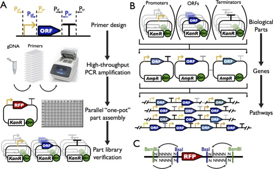 Overall scheme to construct standard biological parts, transcription units and pathways. ( A ) Overall strategy to construct the standard biological parts and to profile their functions. All parts generated in this study are derived from native sequences, amplified from S. cerevisiae genome by PCR. Each part is verified by sequencing. ( B ) Use of the part libraries to assemble transcription units (TUs) and pathways. Each part within a library is compatible with the parts from other libraries, allowing compositional assemblies. The TUs can be used for a second round of assembly, leading to the construction of multiple-gene pathways. The assembled pathways can be integrated into either a designated genomic locus or a plasmid. ( C ) Schematic representation of the acceptor vectors for parts. Each vector contains two different type IIs restriction enzyme recognition sites. BsaI was used to release the RFP marker, allowing quick identification of the correctly assembled parts. BsmBI was used to put different parts together to construct the transcription units.