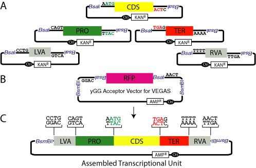 Yeast Golden Gate <t>(yGG)</t> to assemble transcription units (TUs) flanked by VEGAS adapters. ( A ) yGG reactions to build TUs destined for VEGAS pathway assembly in S. cerevisiae include five parts: a left VEGAS adapter (LVA), a promoter (PRO), a coding sequence (CDS), a terminator (TER) and a right VEGAS adapter (RVA). Each part is flanked by inwardly facing recognition sequences for the BsaI restriction enzyme, an 'offset cutter' which cuts outside its recognition sequence (at positions 1/5 bp downstream) to expose the indicated four base-pair overhangs. All parts are cloned into vectors encoding kanamycin resistance (KAN R ) and an E. coli replication origin (Ori). ( B ) The yGG acceptor vector for VEGAS is designed such that outwardly facing BsaI sites expose overhangs corresponding to the 5′ LVA and 3′ RVA overhangs to promote assembly of the TU in the vector during a one-pot restriction-digestion reaction. The RFP cassette, built for expression in E. coli , is cut out of the vector when a TU correctly assembles, enabling white–red screening. The yGG acceptor vector encodes resistance to ampicillin (AMP R ) ( C ) The structure of a VA-flanked TU assembled by yGG. An assembled TU plus the flanking VA sequences may be released from the yGG acceptor vector by digestion with <t>BsmBI.</t>